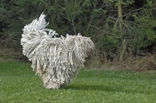 Foto: Komondor in Action